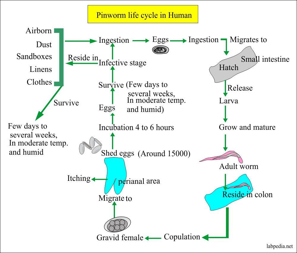Pinworms a test tünetei