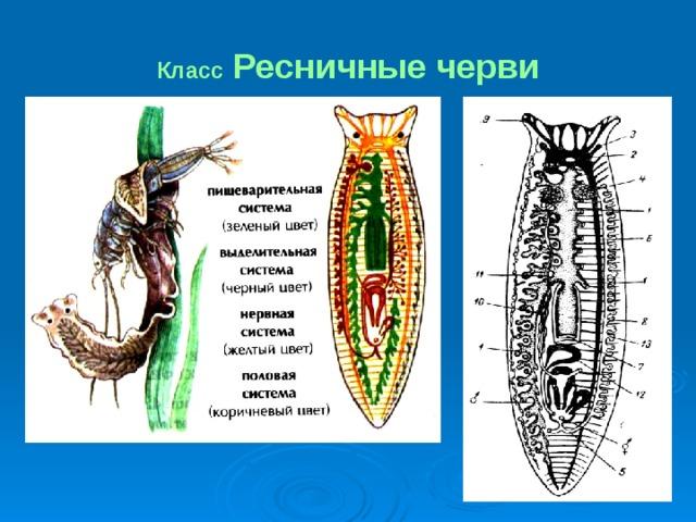 Bika szalagféreg információk