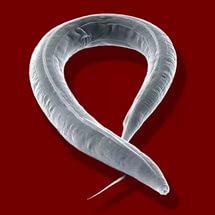 feltörekvő élelmezési célú paraziták Például bizonyítsuk a parazita szalagférgeket