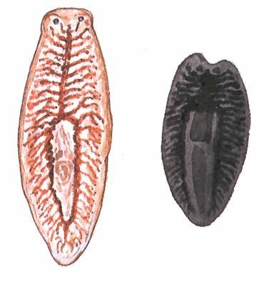 parazitamegelőzés a gyermekek fórumában milyen leukociták működnek a nagy paraziták elpusztításában