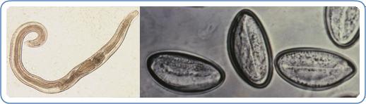 enterobiosis Kolpino pass a csiga paraziták veszélyesek az emberekre