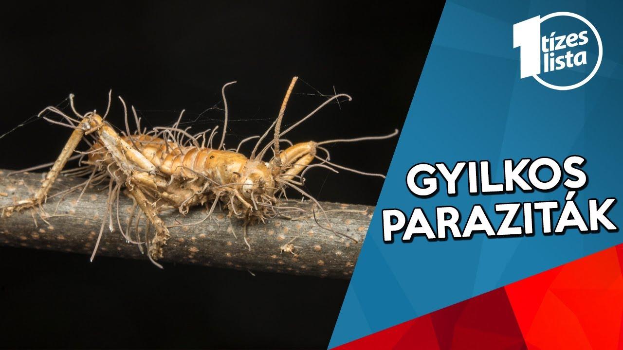 parazita széles streamer tünetei az organizmusok paraziták a baktériumokat