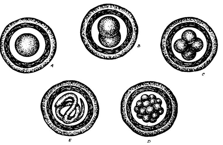 Hol vannak kerekférgek, A kerekférgek jellemzői: Egyszerű felépítés