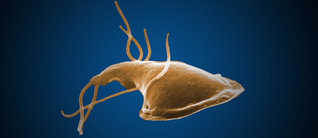 giardia zoonotic disease ababakáros paraziták kezelése