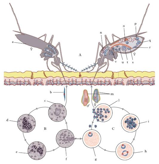 a malária plazmodium eritrocita skizontja giardia on microscope