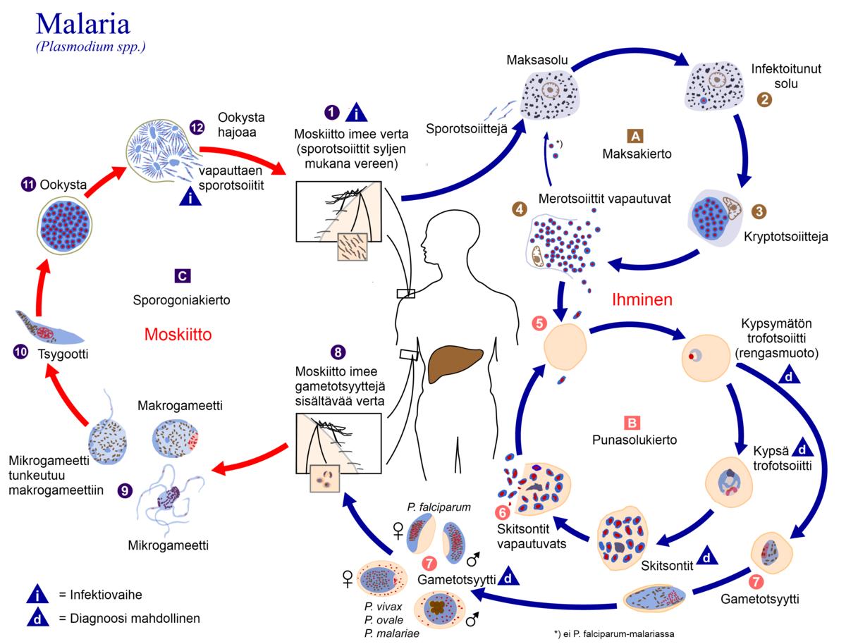 a Plasmodium malária életciklusa röviden