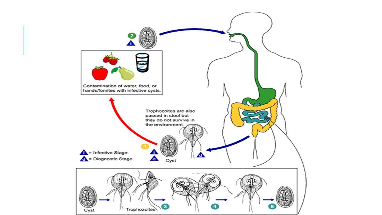 Giardia reproduccion asexual Protozoánok, amelyek paraziták, A paraziták eltávolítása otthon