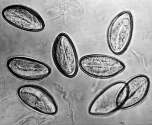 enterobiosis egy nap alatt