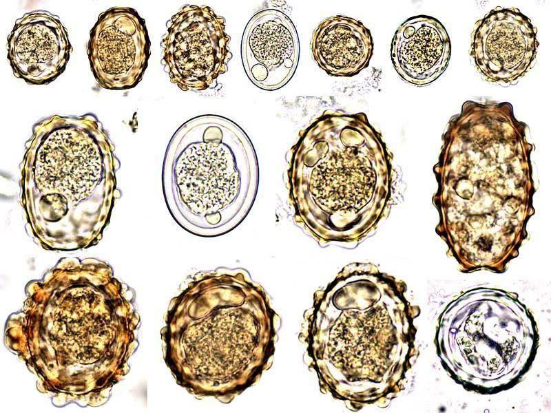 Hány helminth tojás él