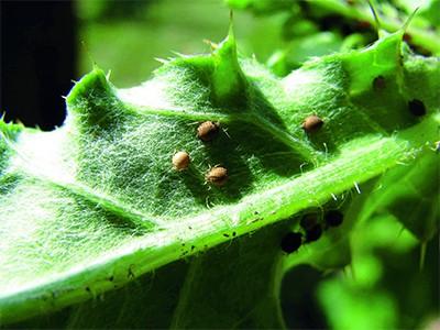 ritka szúnyog, melyet 5 atka parazitál a Balti-tenger - Catawiki
