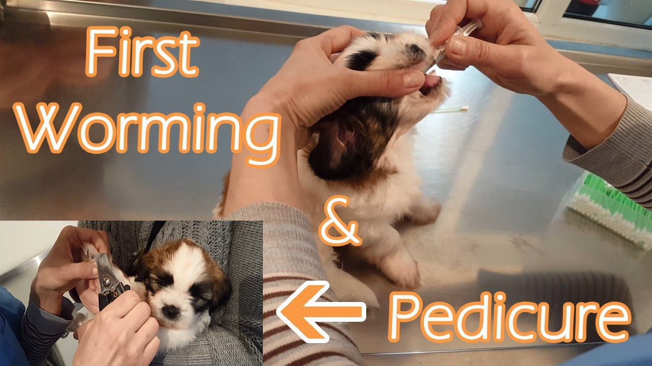 Featured Top Ad Deworming shih tzu
