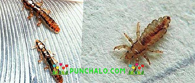 eszköz férgek eltávolítására virágok parazitái
