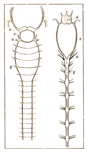 aschelminthes idegrendszer belfereg szekrekedes