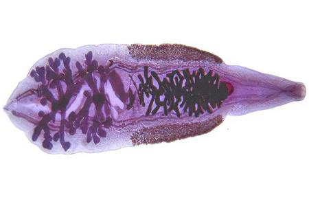 enterobiasis következmények felnőtteknél giardia panacur c