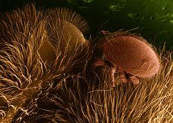 intracelluláris paraziták