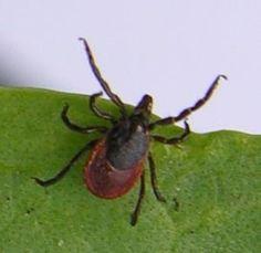 Ettől is rettegni kell - Veszélyes parazitákat terjesztenek a vándorló állatok