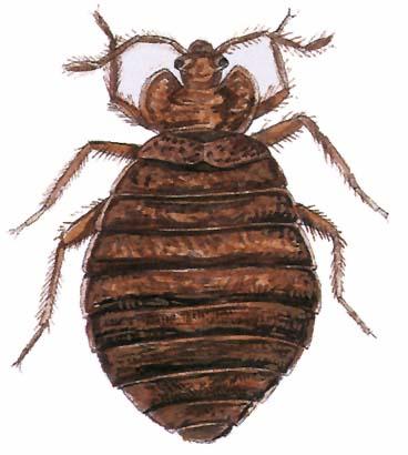 nem parazita szinantropikus rovarok