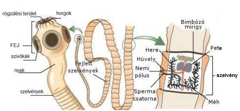 Mit eszik a korbféreg. Opisthorchiasis tünetek fóruma