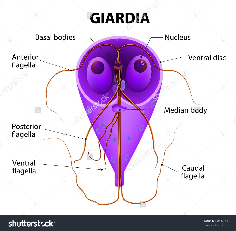 parazita átvitel