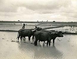 Helminthosporium oryzae bengáli éhínség, Az as bengáli éhínség