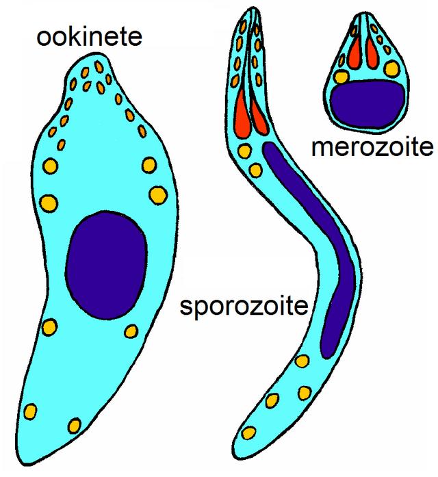 Erratum: az apikomplexán paraziták shikimális útjának bizonyítéka természet - Cikkek -