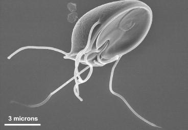 paraziták e. g. giardia