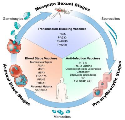 Malária oltás - Védettség a váltóláz, mocsári láz ellen