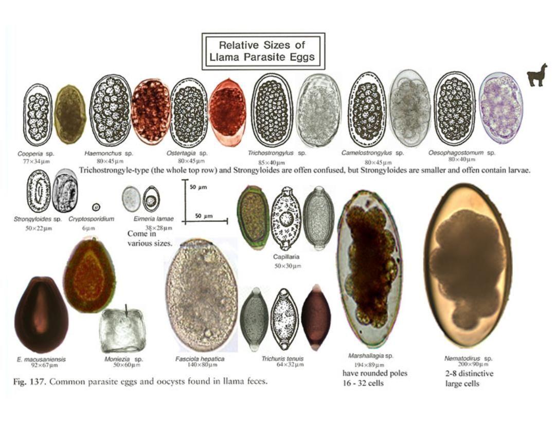 a tojás strongyloidosis