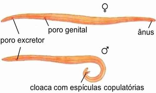 Filo dos nemathelminthes, Filo platyhelminthes caracteristicas principais