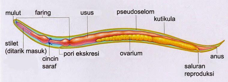 PLATYHELMINTHES. Dugesia tigrina. A. Karakteristik