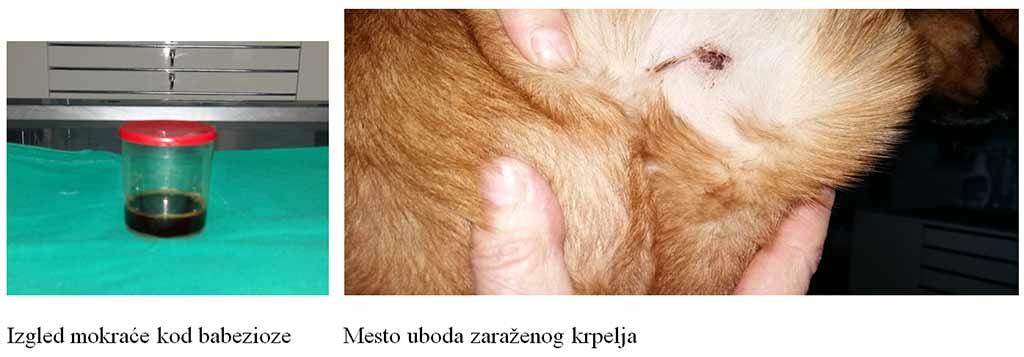 Giardia parazit kod pasa. Metovit artromax i opisthorchiasis