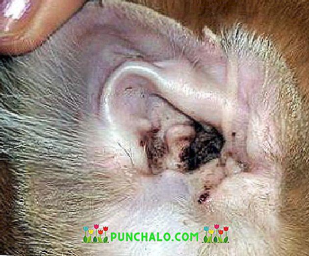 bika szalagféreg hol él a felnőtt körféreg