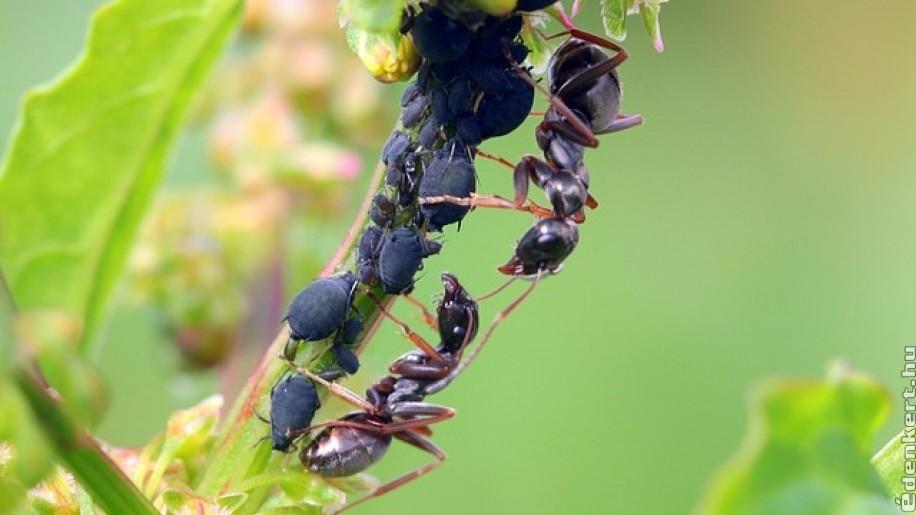 levéltetvek és paraziták rózsakezelése les nemathelminthesours