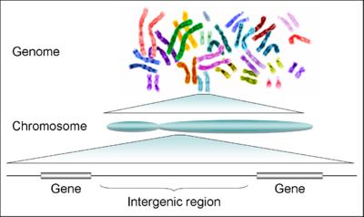 milyen típusú férgek az emberi kromoszómák