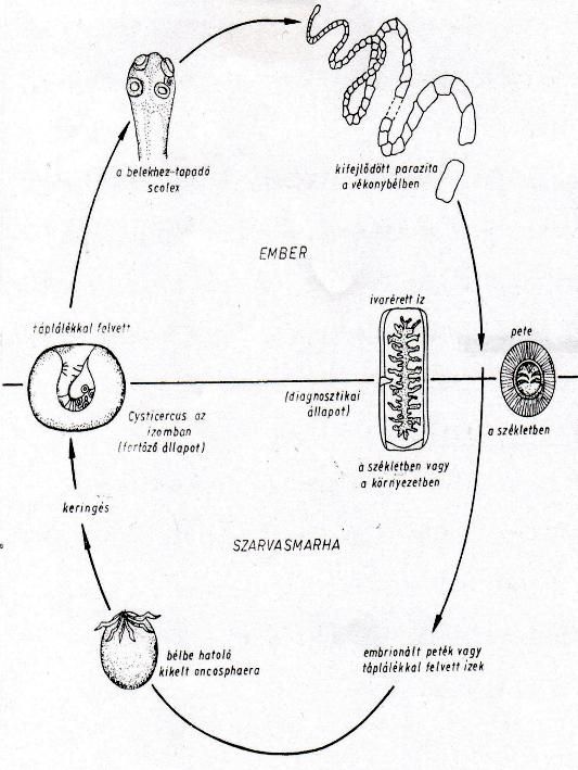 Scolex törpe szalagféreg