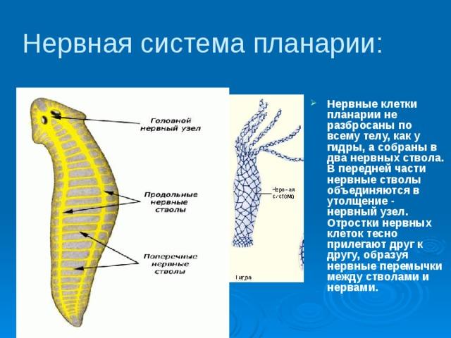 Típusú férgek bika szalagféreg