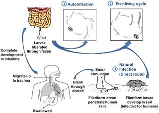 strongyloidiasis geohelminthiasis Kansk kezelés a paraziták számára