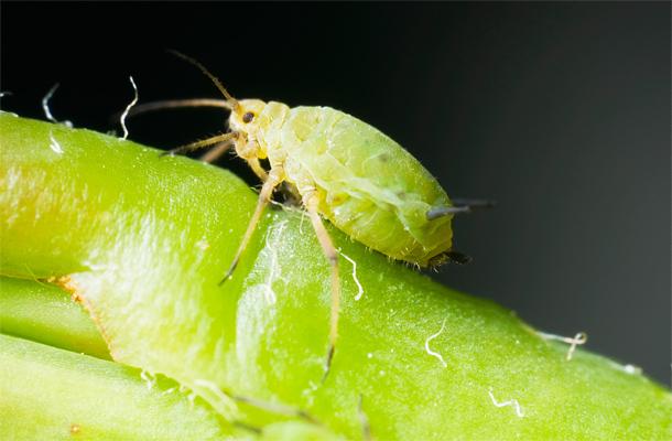 rovar kártevő parazita