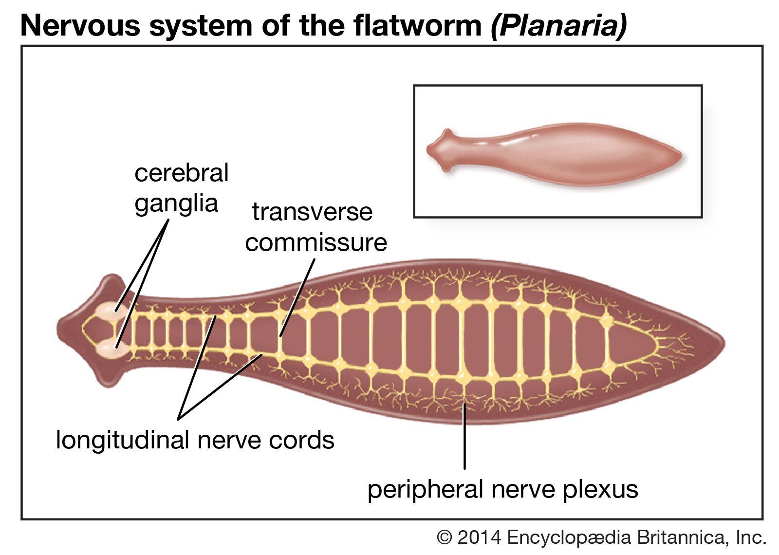 Phylum platyhelminthes diagram