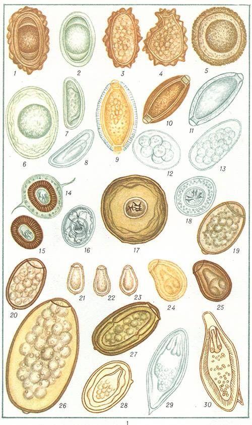 Pinworm helminth tojások ,a féregtojások székletével jár - Helminth tojások morfológiája