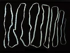 simafejű galandféreg