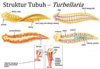 filum platyhelminthes kelas turbellaria