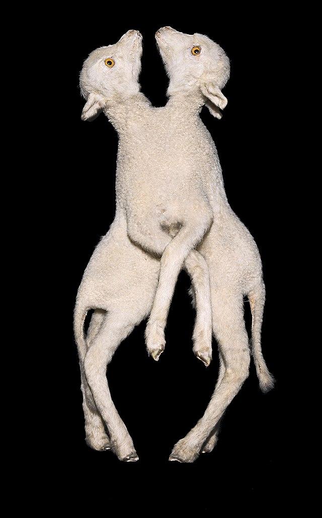 jumeaux paraziták mit hívnak a helminták