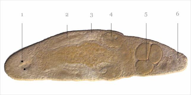 helmint készítmények gyermekeknek és felnőtteknek giardia parasiet mens