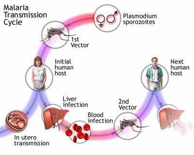 Plasmodium malária ciklus